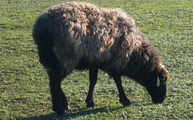երազահան արածող ոչխար