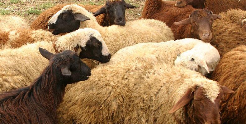 երազահան ոչխար