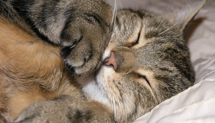 Երազահան Քնած Կատու