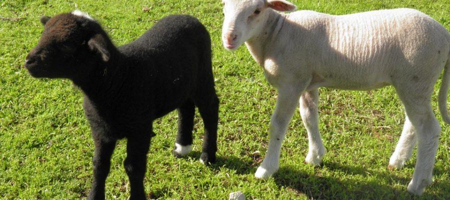 երազահան սեվ ոչխար