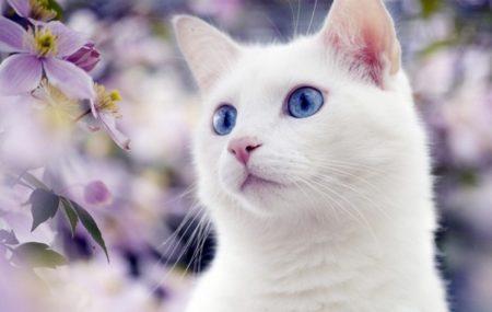 Երազահան Սպիտակ Կատու