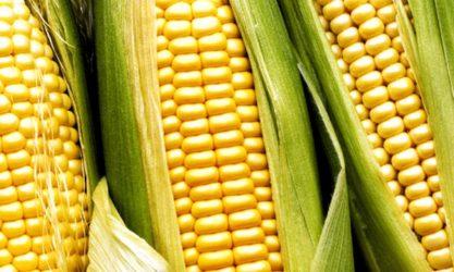 erazahan kukuruz