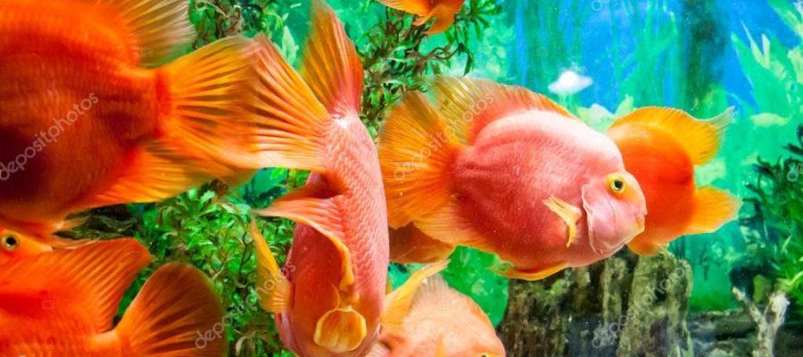 Երազահան Ձուկ Կերակրել